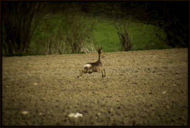 Roe deer by Baxendale