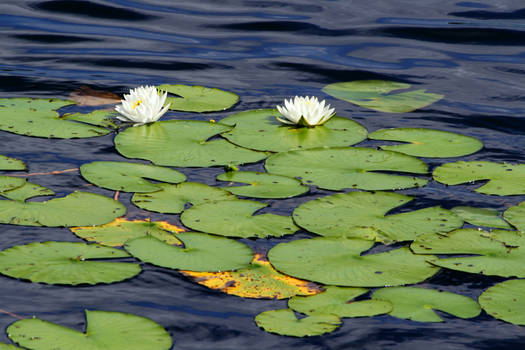 Lilypads and Water Lillies