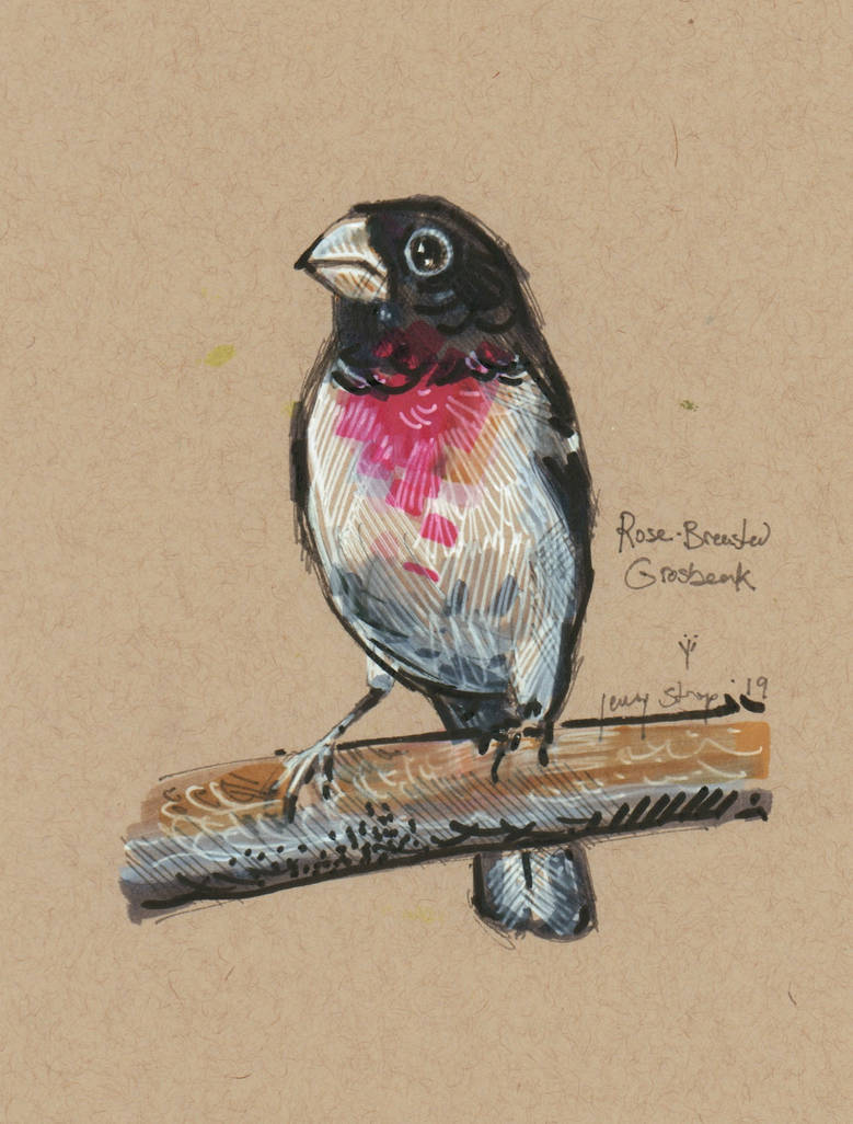 Rose Breasted Grosbeak by matthias-corvidae