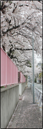 sakura pathway II f2u divider by aisuu-chann