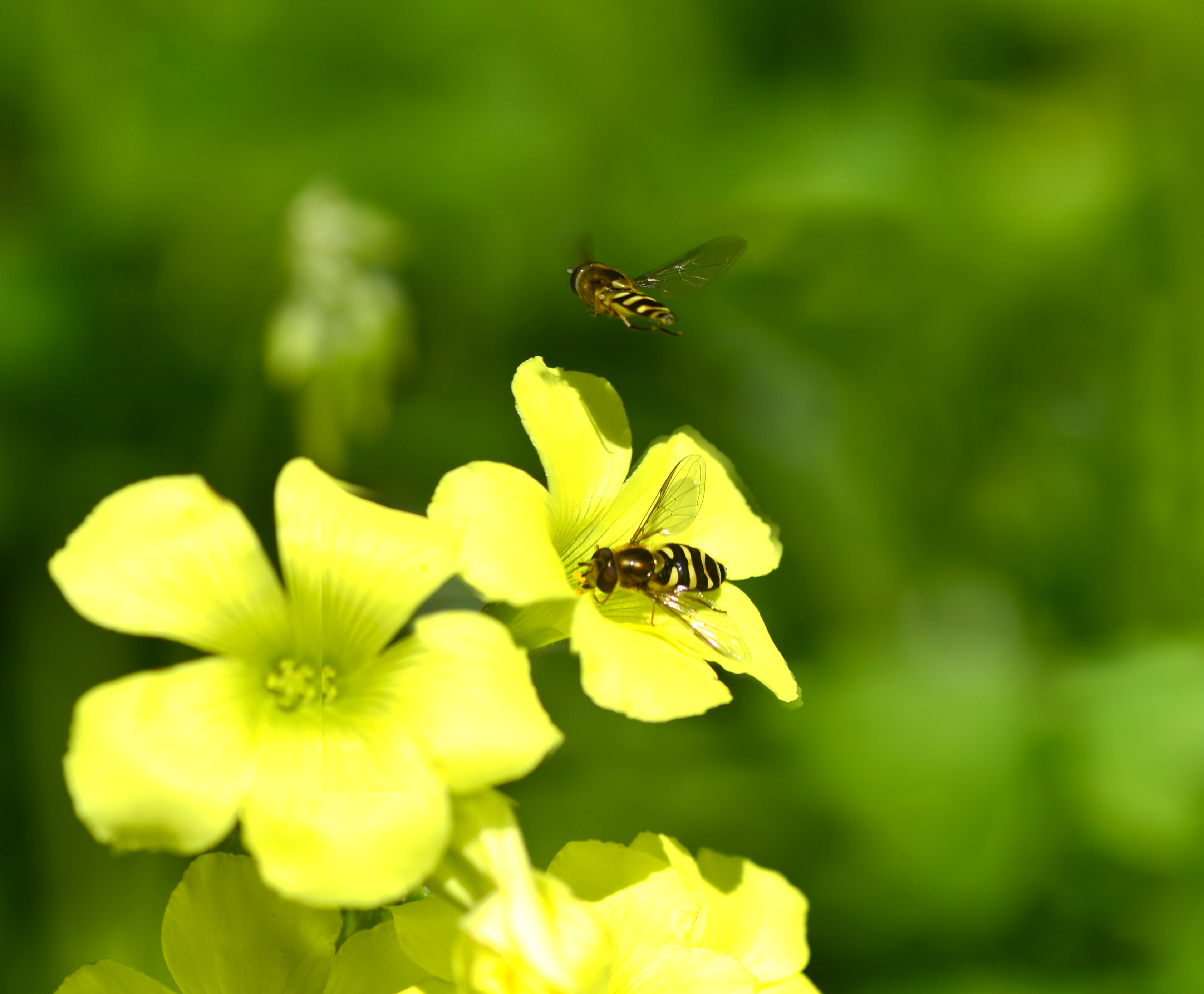 California Bee Wasp in backyard by cognisant