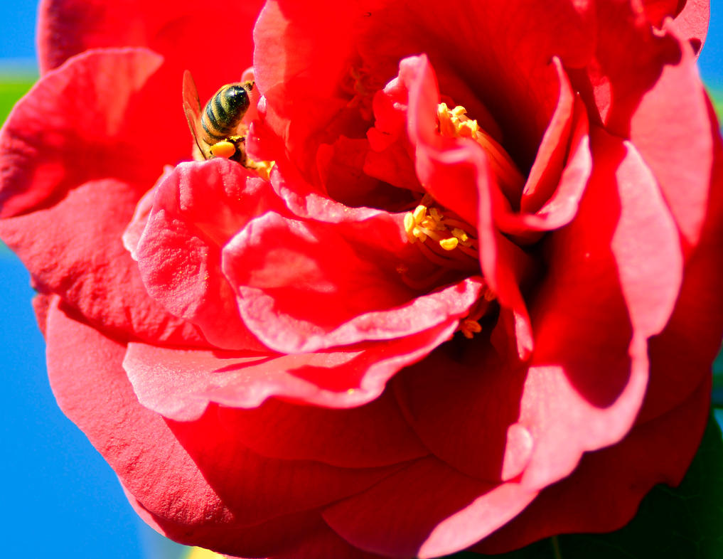 Pollinat a Begonia by cognisant