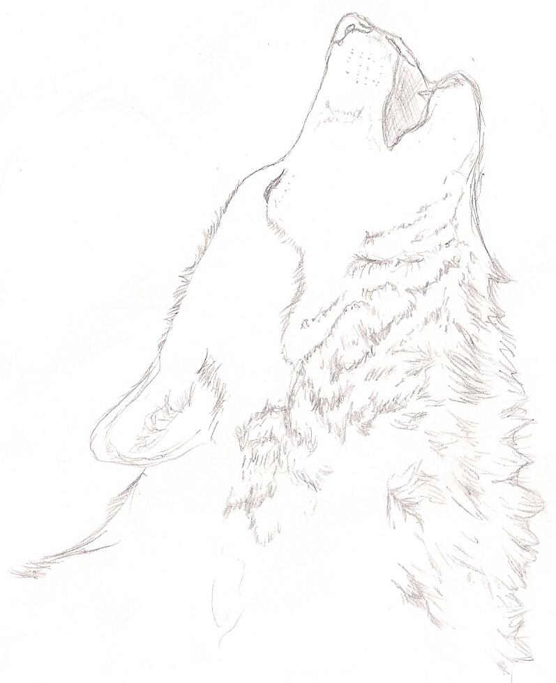 Gray Wolf Howling Drawing Gray Wolf Howli...