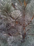 Pine Frost