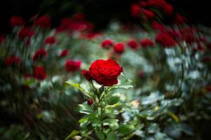 Roses in Bloom by Flyy1