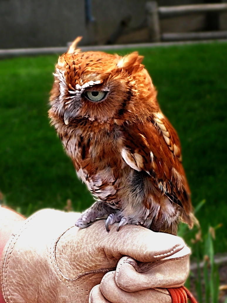 One-Eyed Screech Owl II by Utukki-Girl