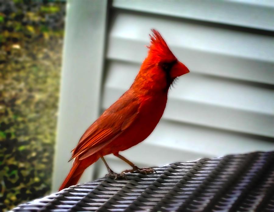 Kauai Cardinal by Utukki-Girl