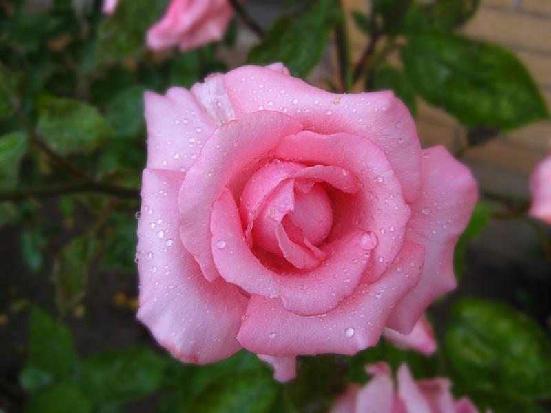 Pink Rose by Utukki-Girl