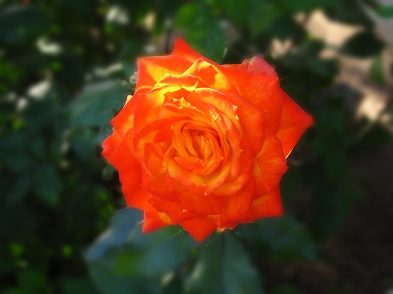 Sunset Rose in the Morning by Utukki-Girl
