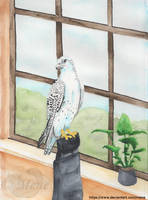 A gyrfalcon in the office