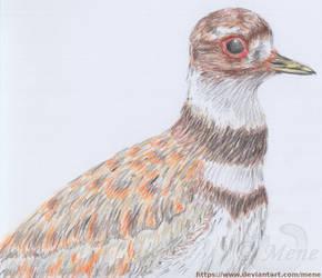 Killdeer bird