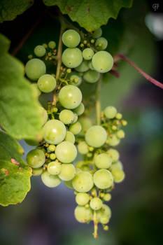 Got any Grapes?