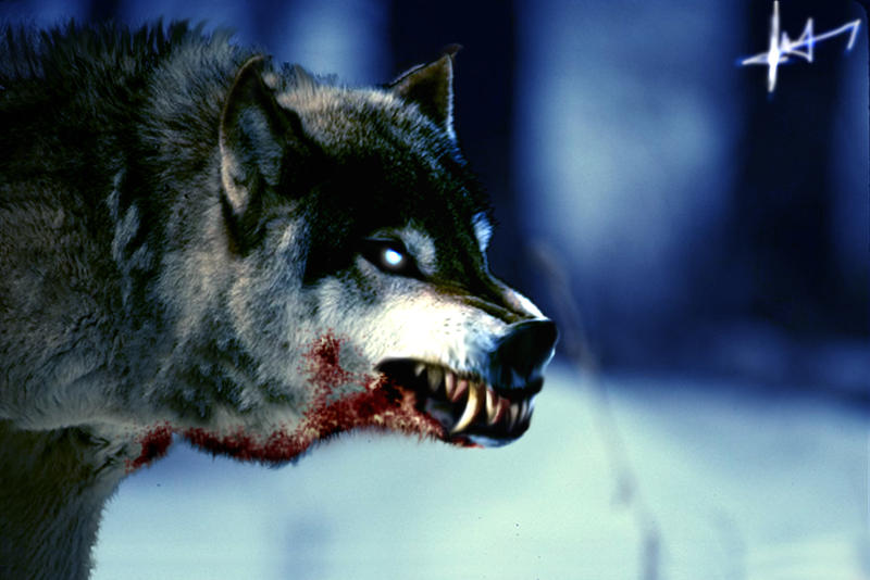 عندمآ تبكي الذّئاب ♥ Wild__Wolf_by_gangre