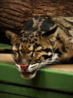 Clouded Leopard II by LucieJirankova