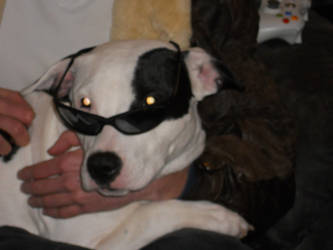 Cool Dog with Shades by Gephoria