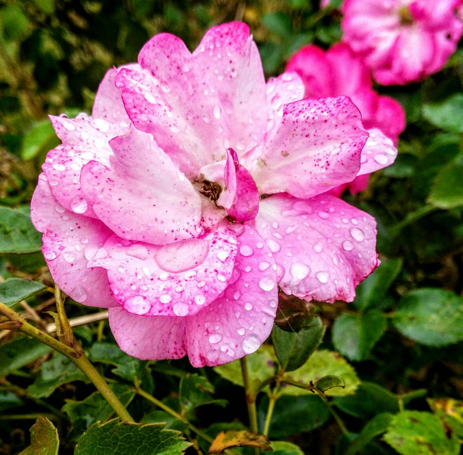 pink rose-after the rain by lilyamsen