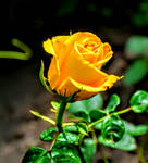 Yellow rose from my garden