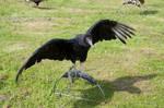 Black bird1