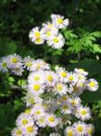 wild flower 2 by SilverXShadow