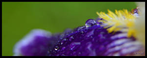 Iris after rain by GabrielM1968
