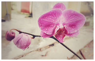 -Phalenopsis- by Acerbical