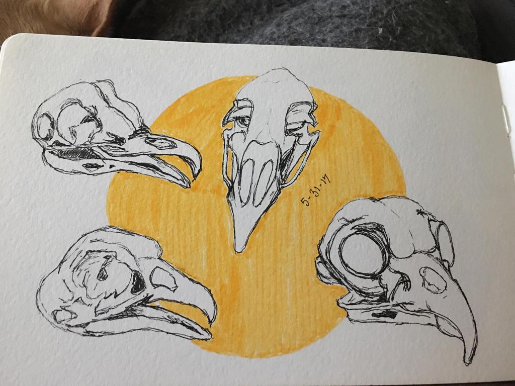 Bird skulls (skull anatomy) by SlvrDrksng on DeviantArt