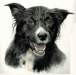Wet Border Collie by cdj127
