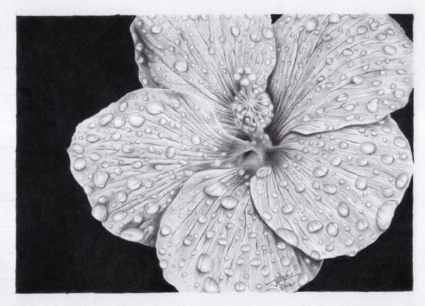 Hibiscus flower pencil drawing by graphitefaces