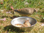 Chipmunk and Morning Dove