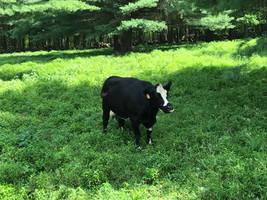 Moooo! I'm a cow!