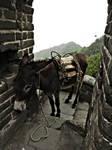 great wall donkey