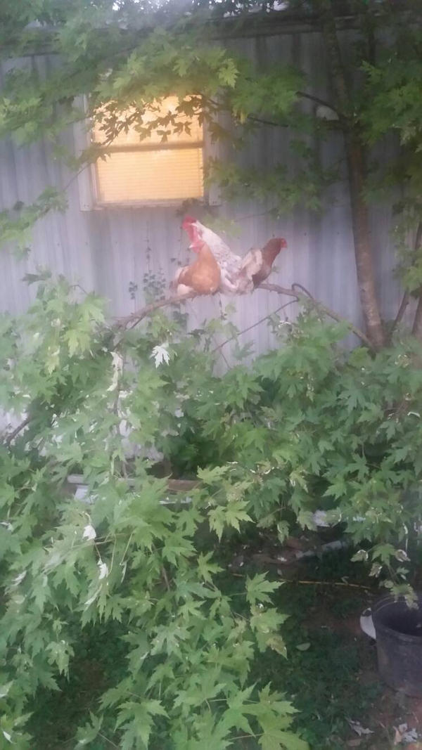 Male Rooster going to Smash his 2 bitches by SCP-096-2