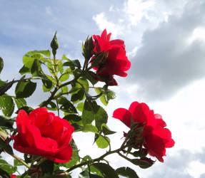 Rosa's roses