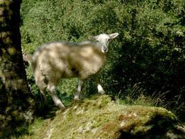 Sheep by w0lfman
