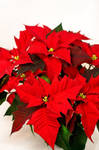 Christmas star by sekundek