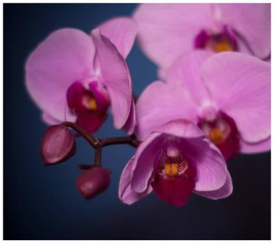 Orchid :3: by sekundek