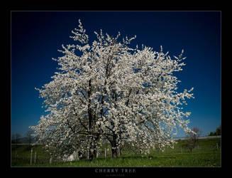 cherry tree by sekundek