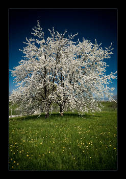 cherry tree .2