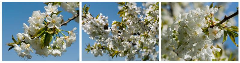 cherry closeup by sekundek