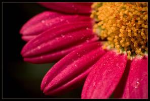 Macro daisy in colour by sekundek