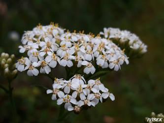 Sambucus nigra by IVISEK