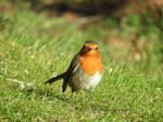 Rouge-gorge / Erithacus Rubecula / European Robin