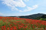 Champ de Coquelicots / Field of Poppies by LePtitSuisse1912