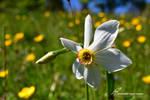 Narcisse des Poetes / Narcissus poeticus