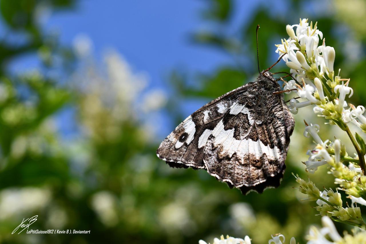 Silene (Brintesia circe)