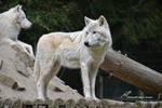 Loup blanc de Siberie by LePtitSuisse1912