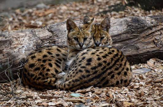 Couple de Servals