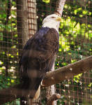 American Eagle II