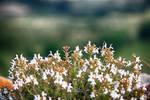 White Blossoms by NunoPires