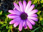 Purple by NunoPires